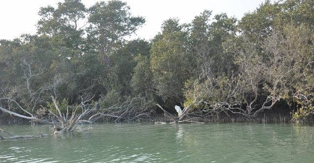 White Heron in the Mangroves
